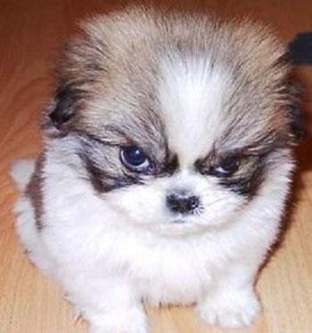 Злой щенок